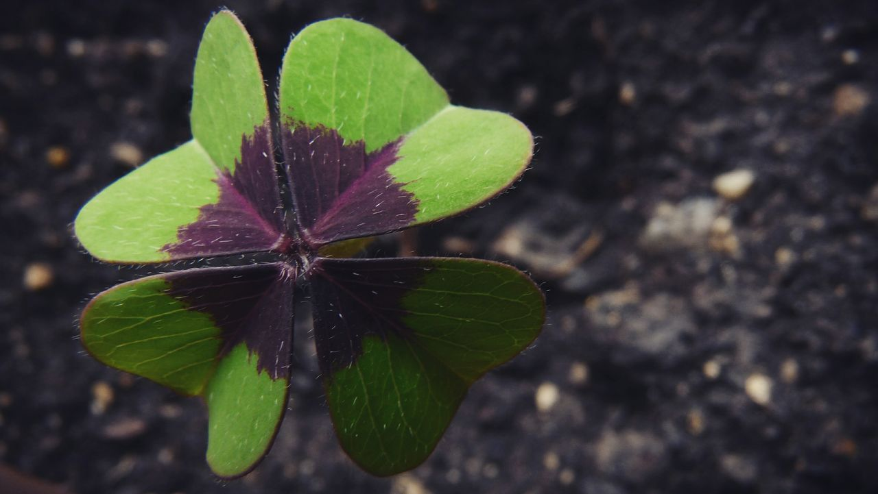 Leaf Nature Green Color Close-up Flower Freshness Plant No People Outdoors Fragility Beauty In Nature Day Flower Head Luck EyeEm Selects Four Leaf Clover Four Leaf Clovers 🍀 Beauty In Nature History
