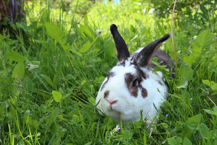 Brown and white rabbit,plant-eating mammal, with long ears, long hind legs, and a short tail, is sitting in the grass Animal Themes Bunny  Dandelion Field Grass Rabbit Summer Wildlife