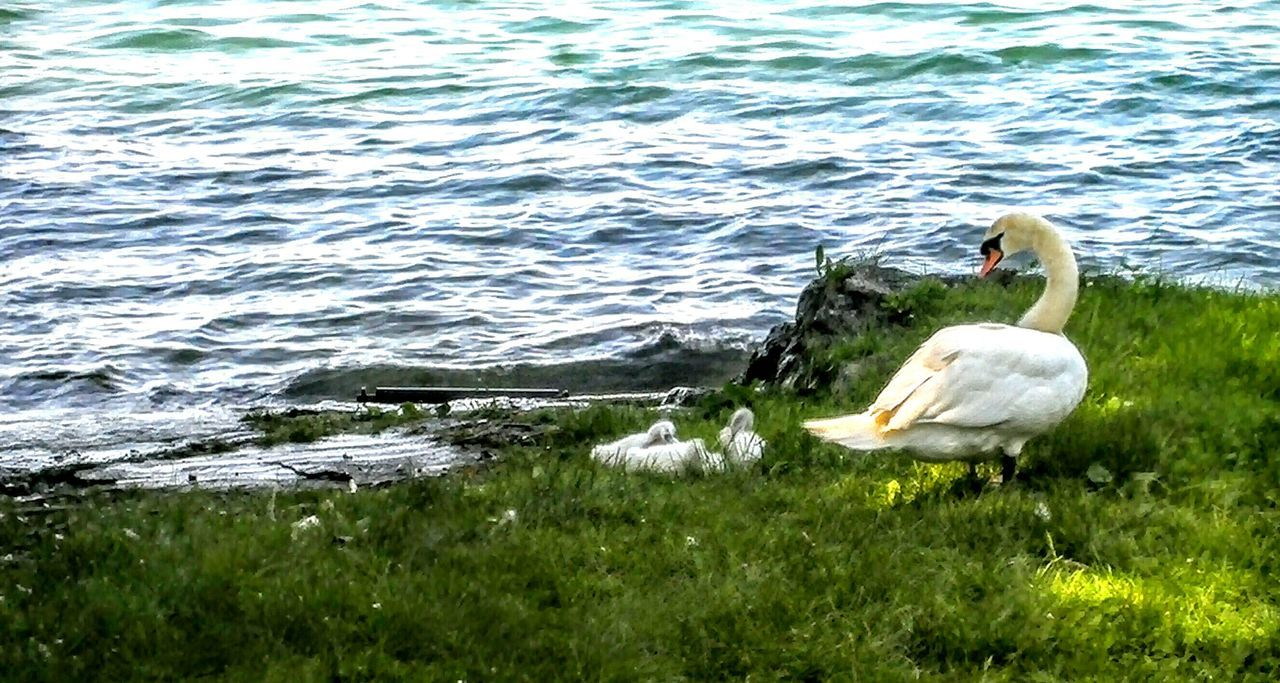 Water Lake Meadow Swans Summer Wasser Wiese  Schwäne Strand Cygnets Jungschwäne Shallow Water Lawn Beach RePicture Growth Green And Blue Waves Sunny Day Shadow