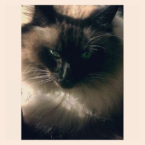 Look at this Foofy. Sealpoint Cats Catsofinstagram Crazycatlady wayne wayneandgarth