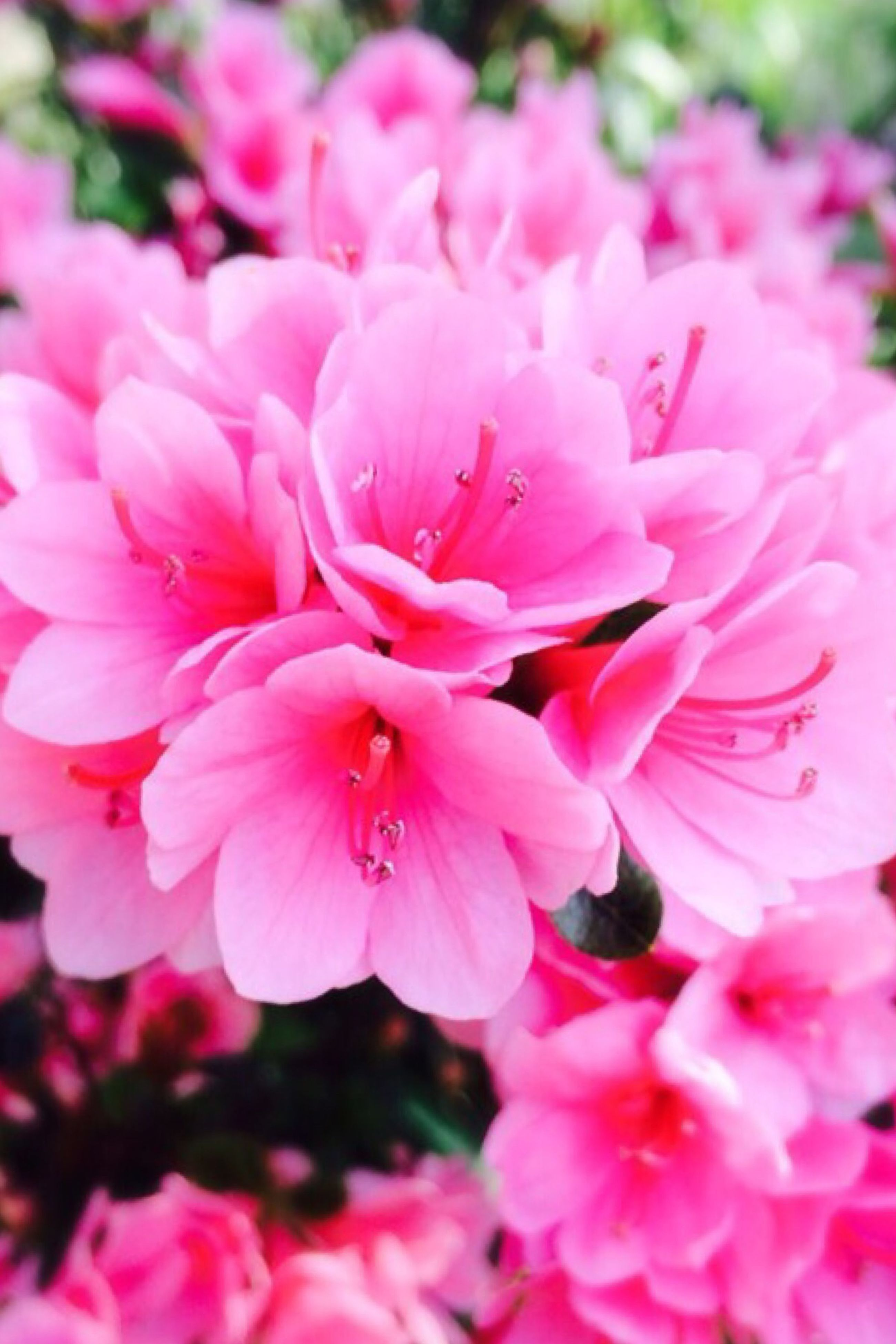 flower, freshness, pink color, petal, fragility, beauty in nature, growth, flower head, close-up, blooming, nature, pink, focus on foreground, in bloom, blossom, park - man made space, selective focus, outdoors, plant, day