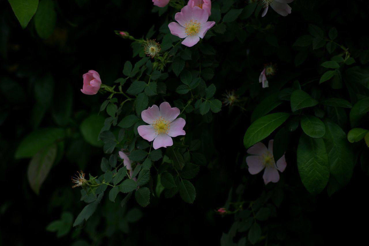 Flower Pink Pink Color Pink Flower 🌸 Pink Flower Flower Growth Petal Fragility Beauty In Nature Nature Freshness Leaf Plant Blooming Flower Head Green Color Outdoors Day Park - Man Made Space No People Close-up Periwinkle