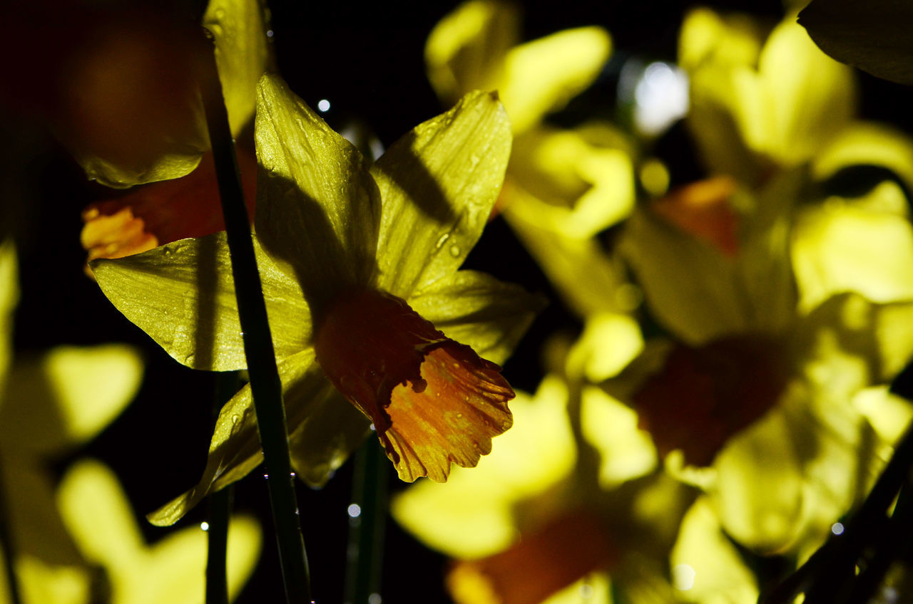Close-up Daffodils Flower Shadows Yellow Flowers