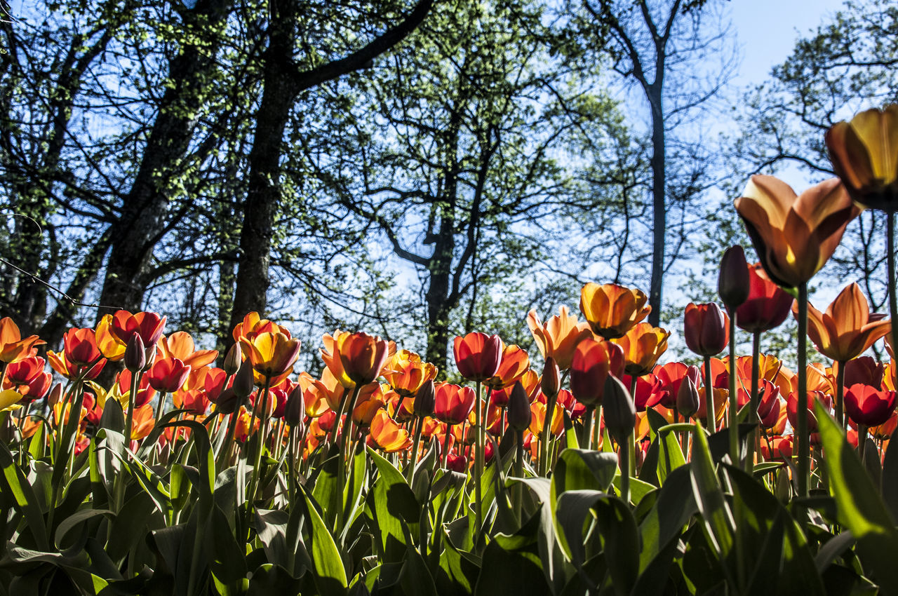 Colorfull EyeEm Nature Lover Flower Flower Collection Flowers Flowers,Plants & Garden Garden Low Angle View Pralormo Tulip