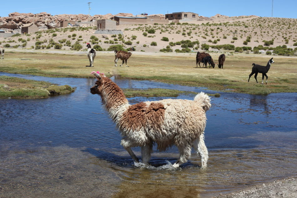 Beautiful stock photos of llama, Animal Themes, Architecture, Building Exterior, Built Structure