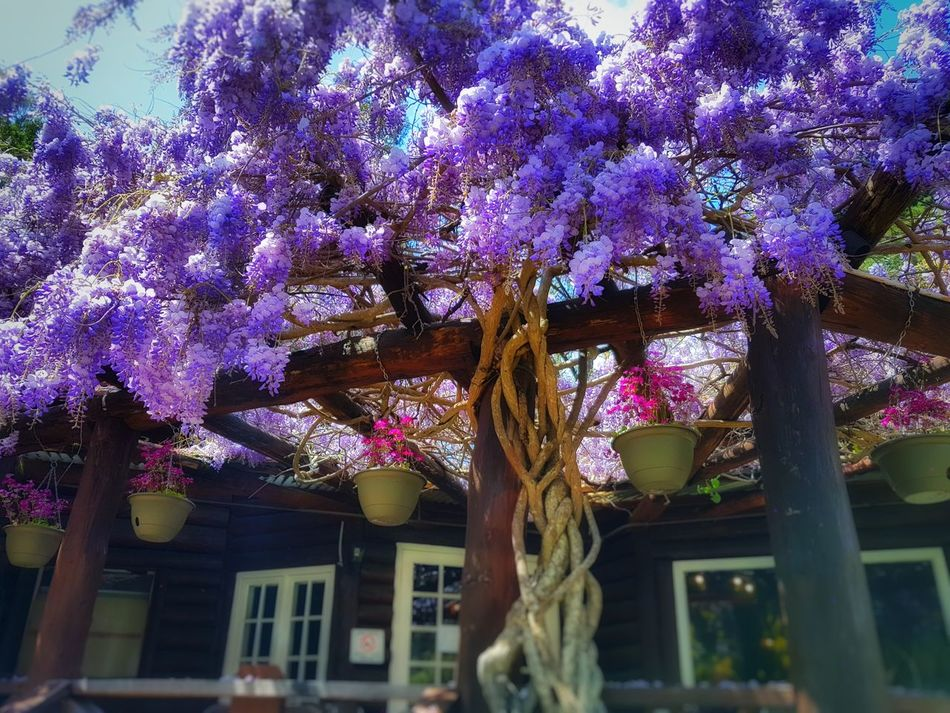 Purple Flower Nature Growth Tree Outdoors Beauty In Nature Day Sky Flower Perth WA Park Parks And Recreation Armadale Blur Nature Plant No People Freshness Wisteria Built Structure Branch Architecture Building Exterior Fragility