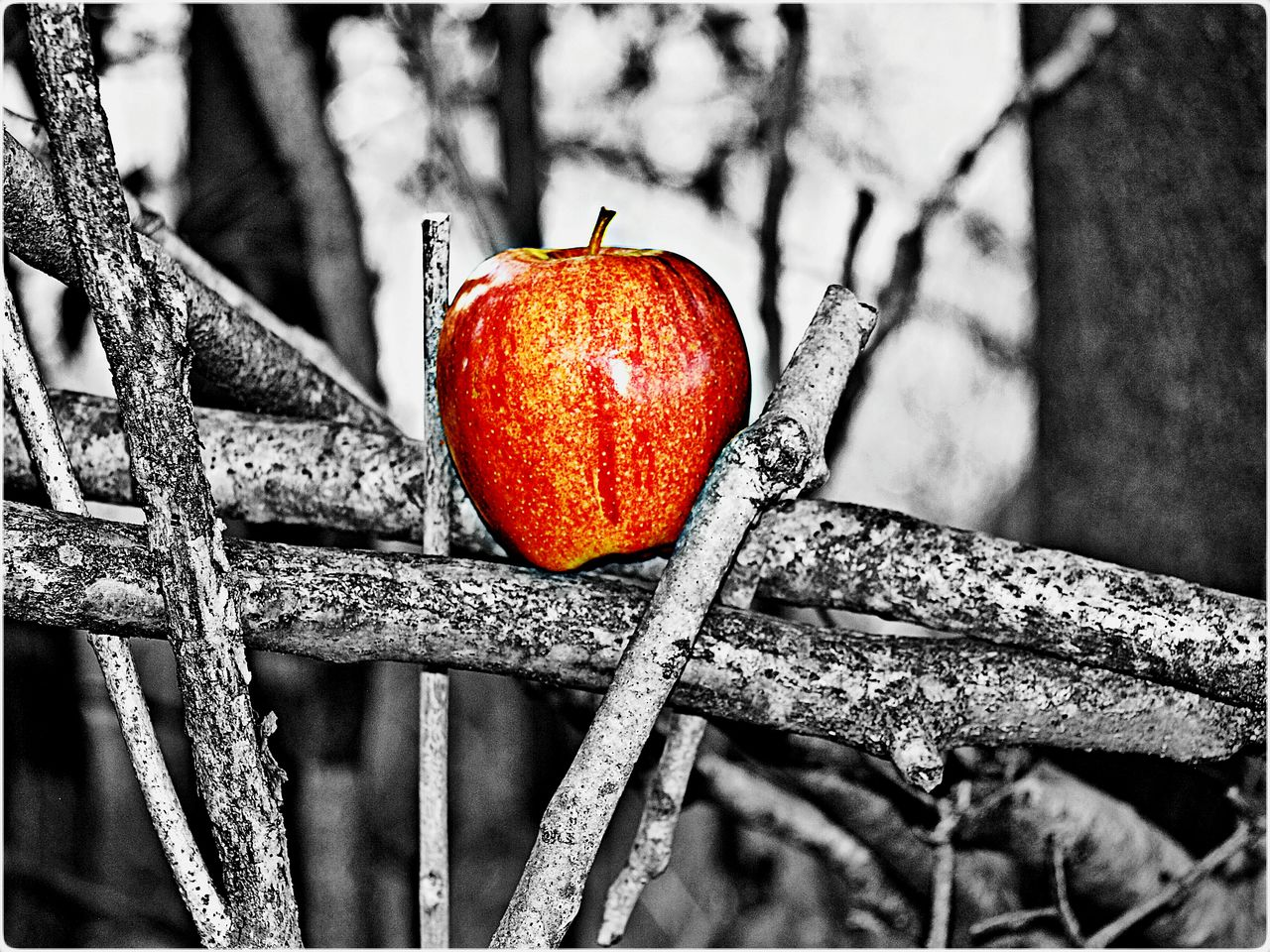 An Apple a Day Photo Collection - Sticks 3, Deceptively Simple Enticement Beauty In Simplicity Find Me, Pick Me, Eat Me Nature Fruit Art Twigs EyeEm Gallery Wall Art