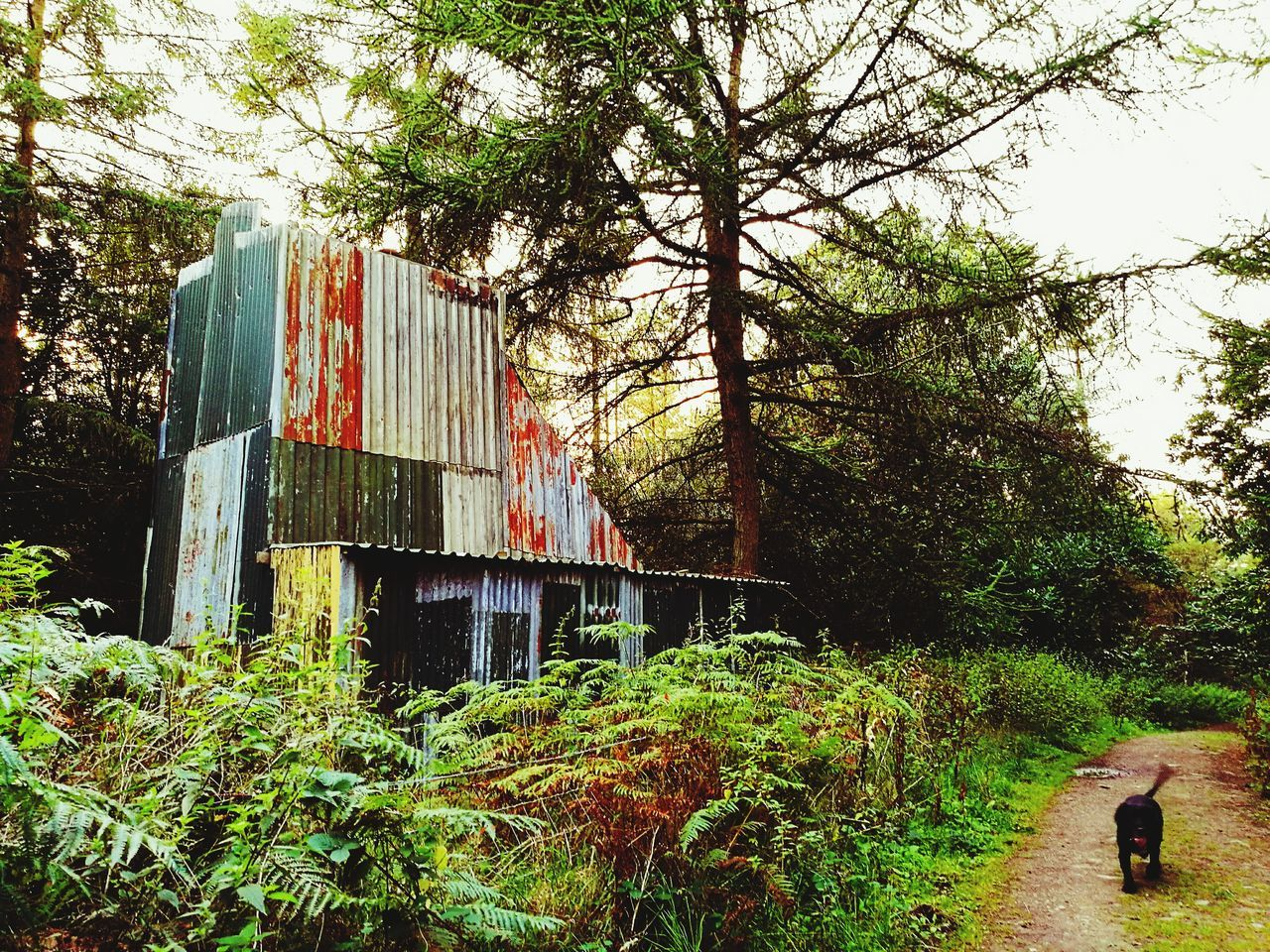 Outdoors Tin Shack Woodland Walk Dog Walking Miners Mining Industry Mining Heritage Forest Photography Forest Forest Walk Woodland Photography Rust Rusty Things Rusted Metal  Colours Colours Of Nature Color Colorful