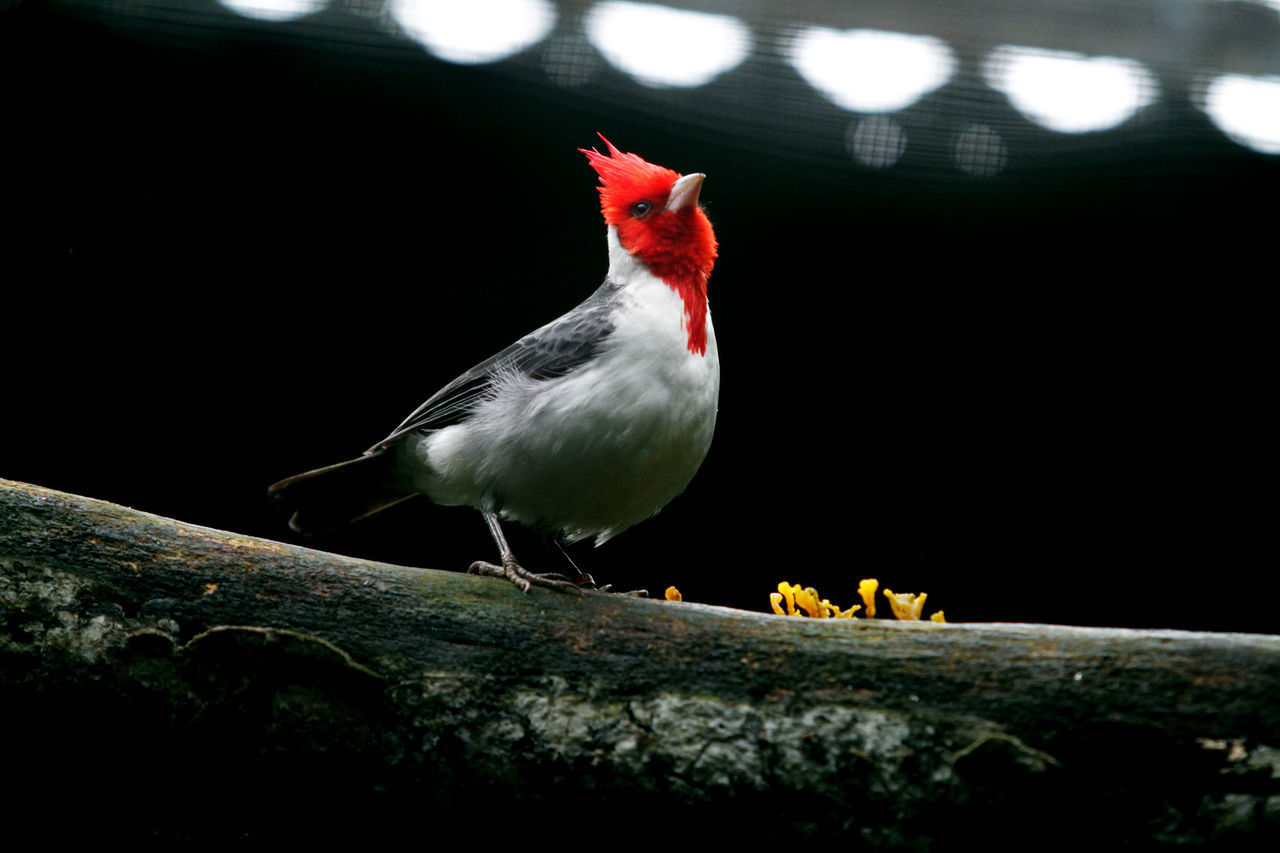 Cardinal Bird Angrybirds Animal Themes Animal Wildlife Animals In The Wild Aves 🐥🐤🐥 Beautiful Beauty Bird Birds Of EyeEm  Birds_collection Black Background Cardinal - Bird Cardinal Birds Day Nature No People One Animal Outdoors Perching Songbird