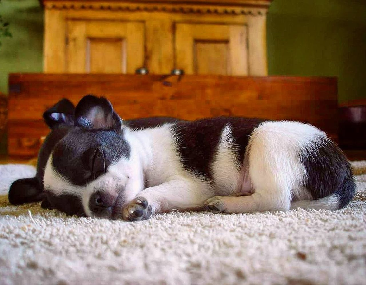 Little Angel Animal Themes One Animal Mammal Domestic Animals Pets Relaxation Sleeping No People Lying Down Close-up Indoors  Dog❤ Dogs Of EyeEm Chihuahuaoftheday Chihuahualovers Chihuahua Dogs Dog Animal Eyemdog Dogslife Dog Photography Pet Furry Friends Doglovers chihuahua