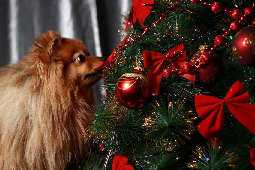 Dog❤ EyeEm Selects Christmas Christmas Tree Christmas Decoration Celebration Tree Christmas Ornament Tradition Christmas Lights Holiday - Event Christmas Present Domestic Animals