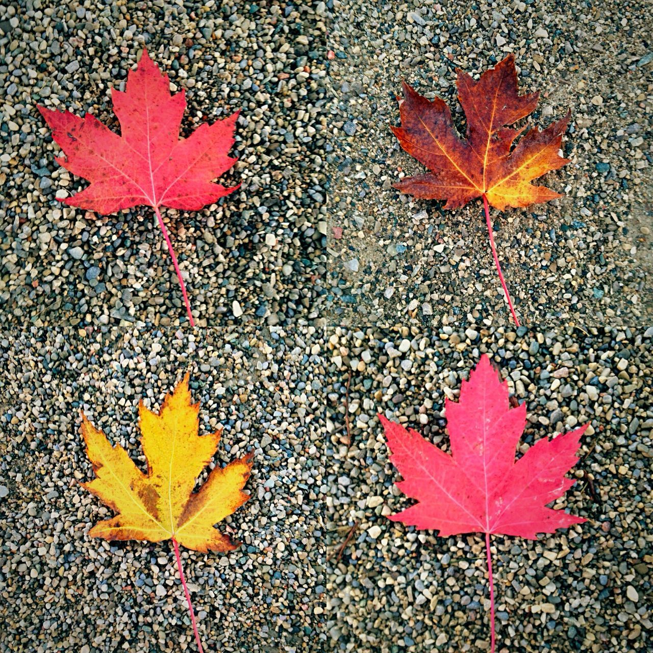 leaf, autumn, change, maple leaf, maple, leaves, dry, nature, beauty in nature, fallen, outdoors, day, scenics, close-up, no people, maple tree, tree, red, fragility, ice hockey