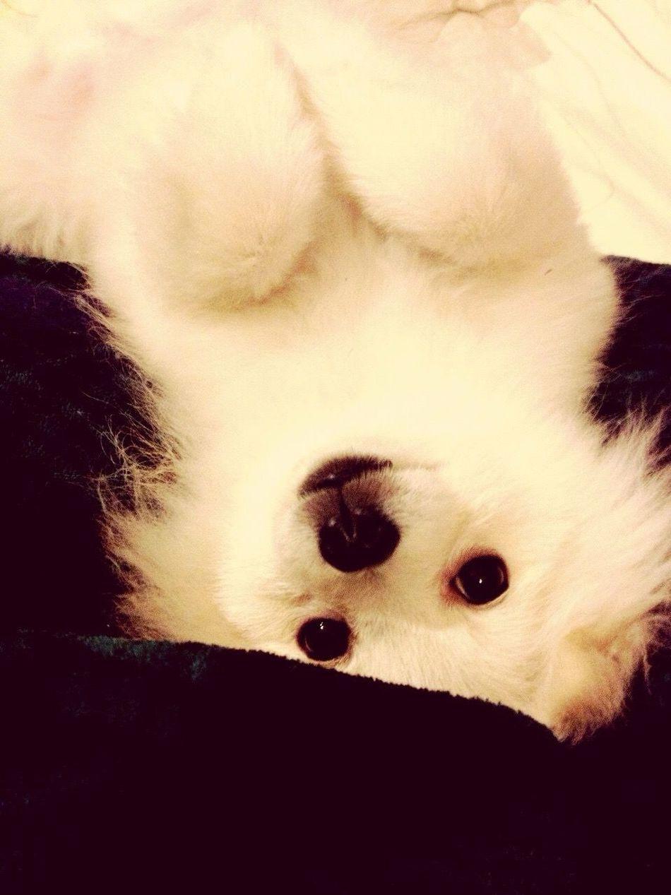 I Love My Dog Korosuke Pomeranian