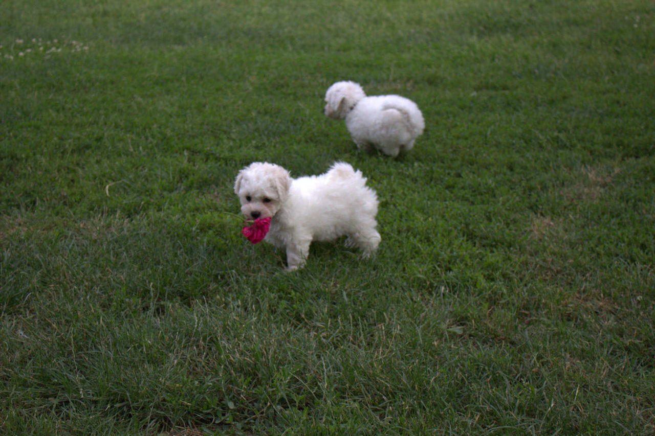 Austrianphotographers Beauty In Nature Bichonfrise Cute Day Domestic Animals Field Grass Grassy Green Green Color Growth Landscape Lawn Mammal Nature No People Outdoors Pets Puppy White White Color Young Animal