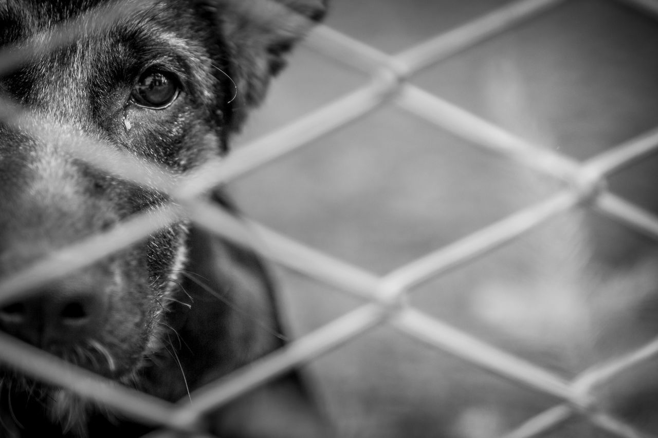 one animal, domestic animals, mammal, animal themes, chainlink fence, dog, metal, pets, protection, animal head, safety, no people, close-up, day, outdoors, looking at camera