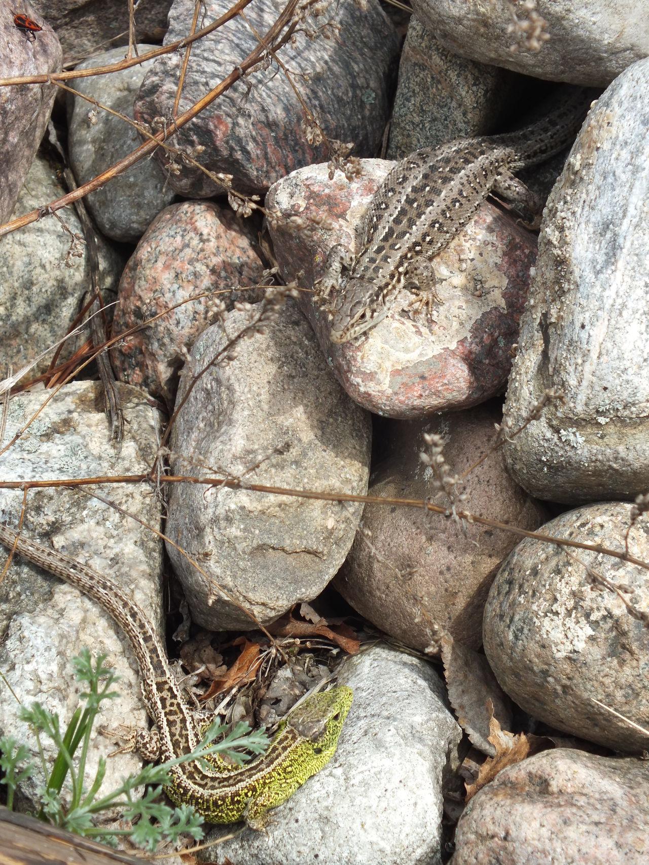 Lizard Lizard Close Up Lizard Nature Reptile Reptile Photography Stone