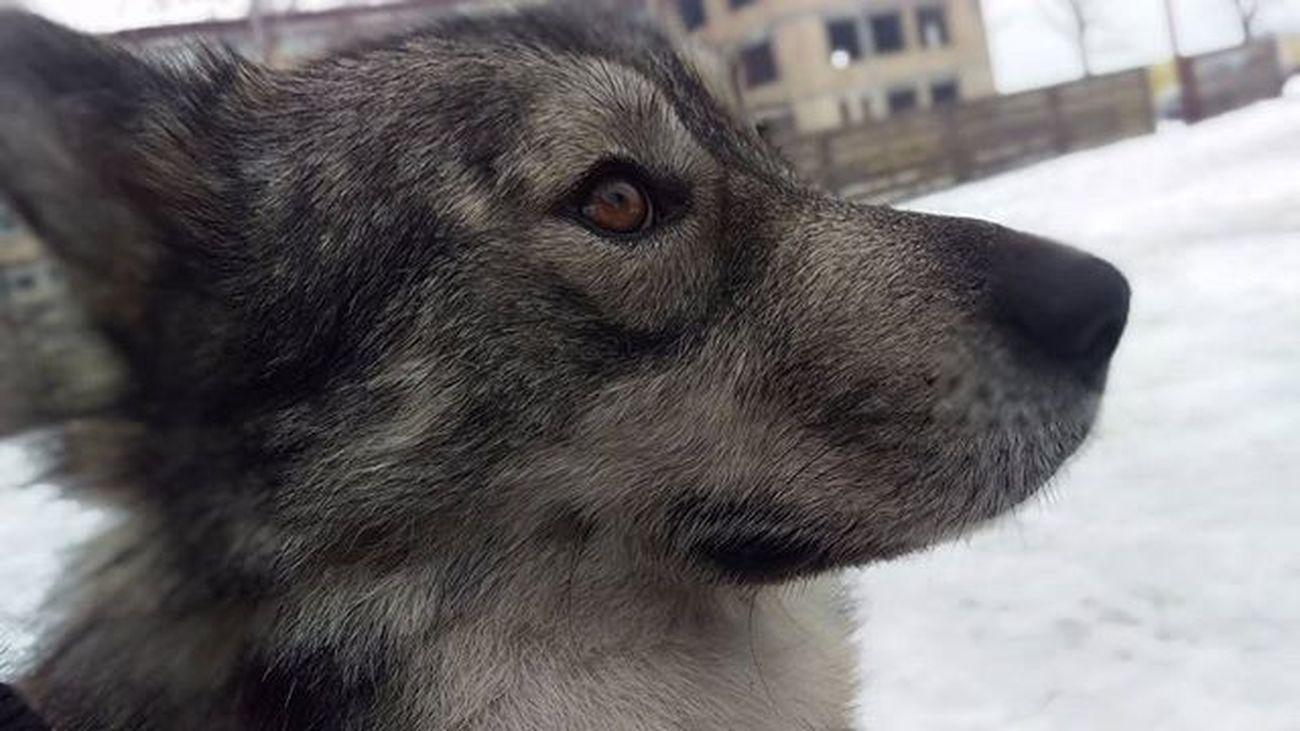Wolf Chewie Cui Malamute najlepši i najbolji pas!