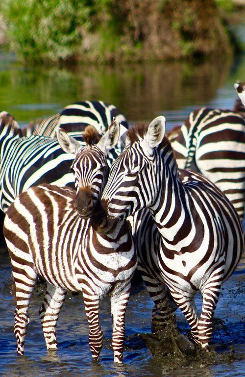 Zebra kisses Africa African Animal Themes Animal Wildlife Animals In The Wild Baby Zebra Black And White Stripes Nature Safari Animals Serengeti Striped Tanzania Travel Travel Photography Water Wildlife Wildlife & Nature Wildlife Photography Zebra