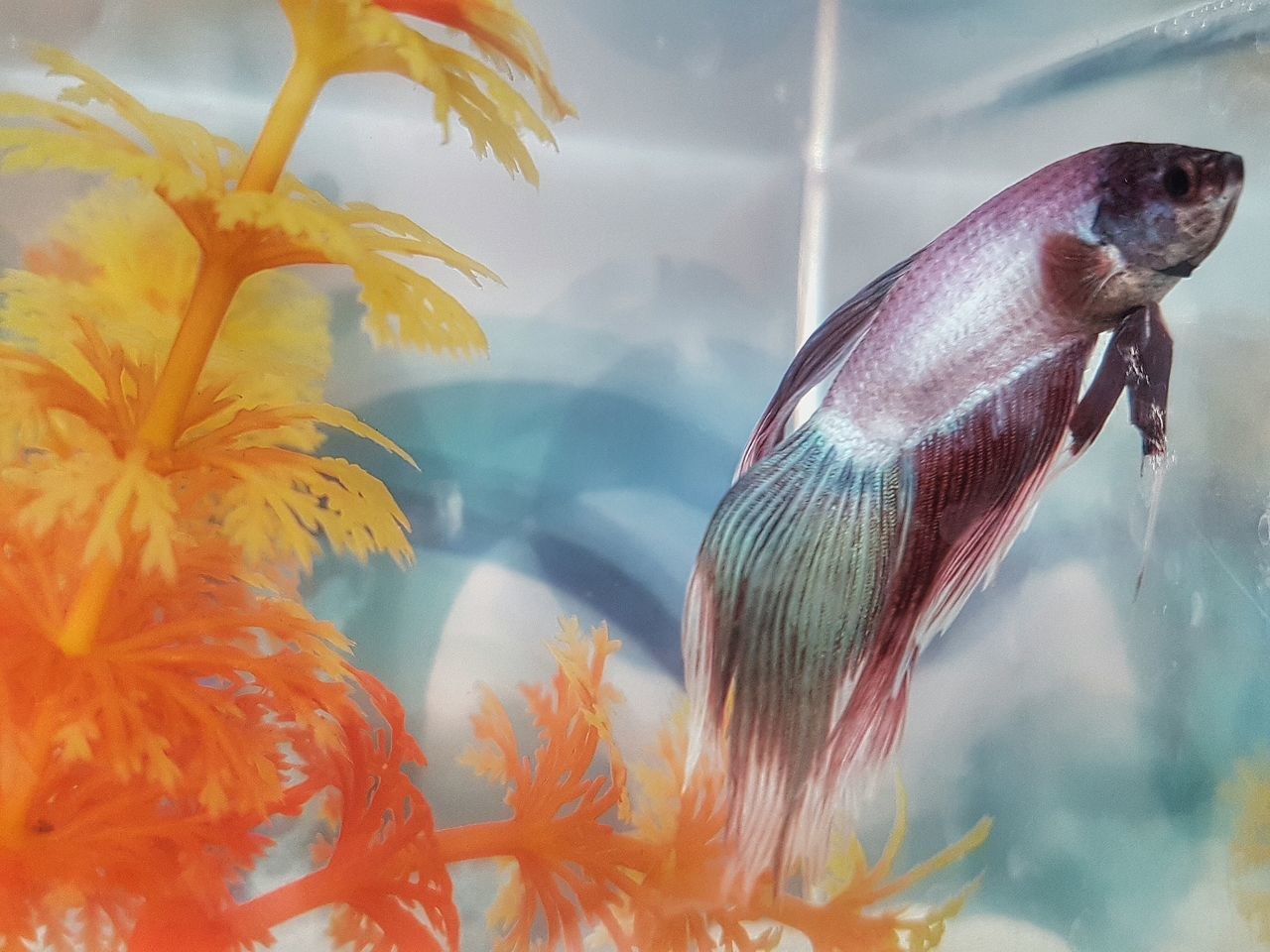 Fishsitting over... Fish Aquarium Gone Home Loner Life Aquarium Life Living In A Box Pastel Colourful Aquatic Plant Just Keep Swimming Colour Version Hdr Edit Fine Art Photography Showcase July Colour Of Life Millennial Pink