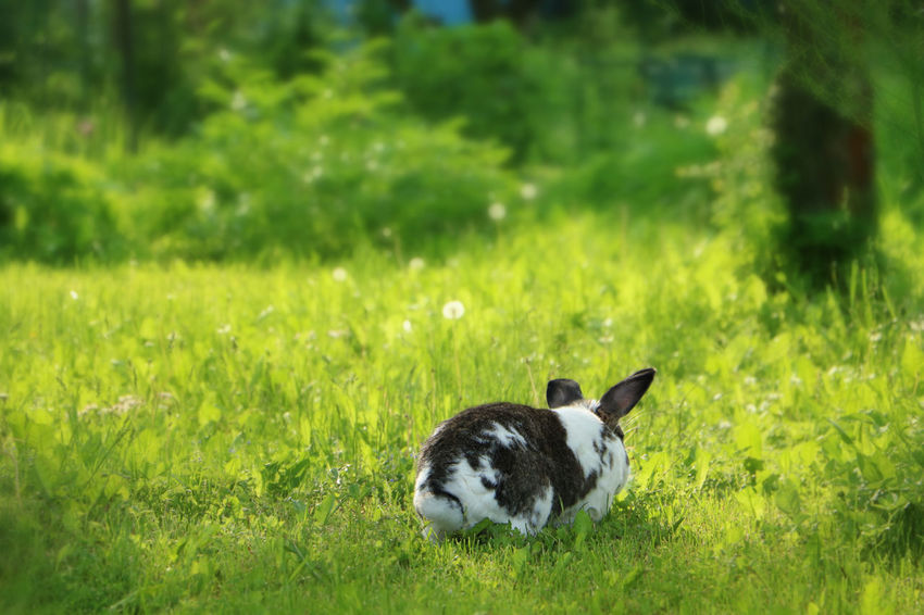 Brown and white rabbit,plant-eating mammal, with long ears, long hind legs, and a short tail, is sitting in the grass Animal Themes Bunny  Dandelion Day Domestic Animals Field Field Grass Grass Mammal Nature No People One Animal Outdoors Rabbit Summer Wildlife