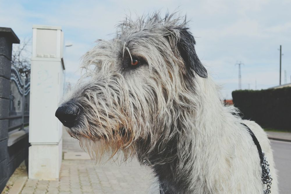 One Animal Animal Themes Animal Body Part Outdoors Sky Animal Head  Close-up Domestic Animals Day Winter 2017 March 2017 Bokeh Dogs Of Winter Dog Of The Day Dogslife Portrait Irish Wolfhound Cearnaigh