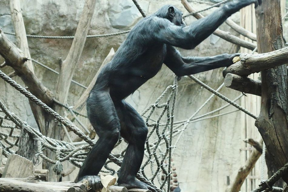 Ancients Primate Mammal Animals In The Wild No People One Animal Day Animal Themes Branch Animal Wildlife Full Length Ape Tree Outdoors Chimpanzee Monkey Nature Zoo Standing EyeEm Diversity