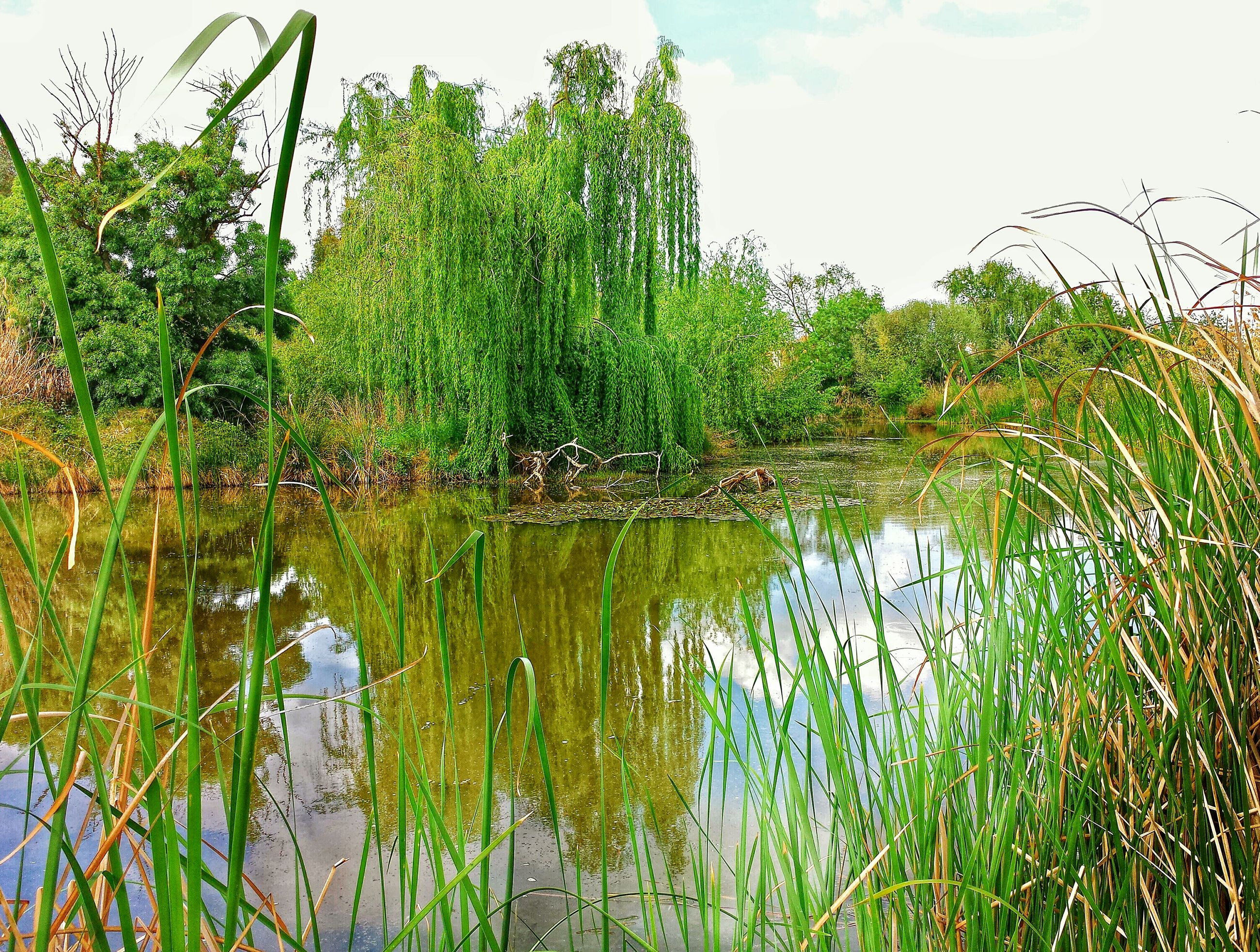 water, growth, green color, plant, tranquility, reflection, tranquil scene, nature, lake, grass, beauty in nature, sky, scenics, tree, growing, green, idyllic, rural scene, day, field