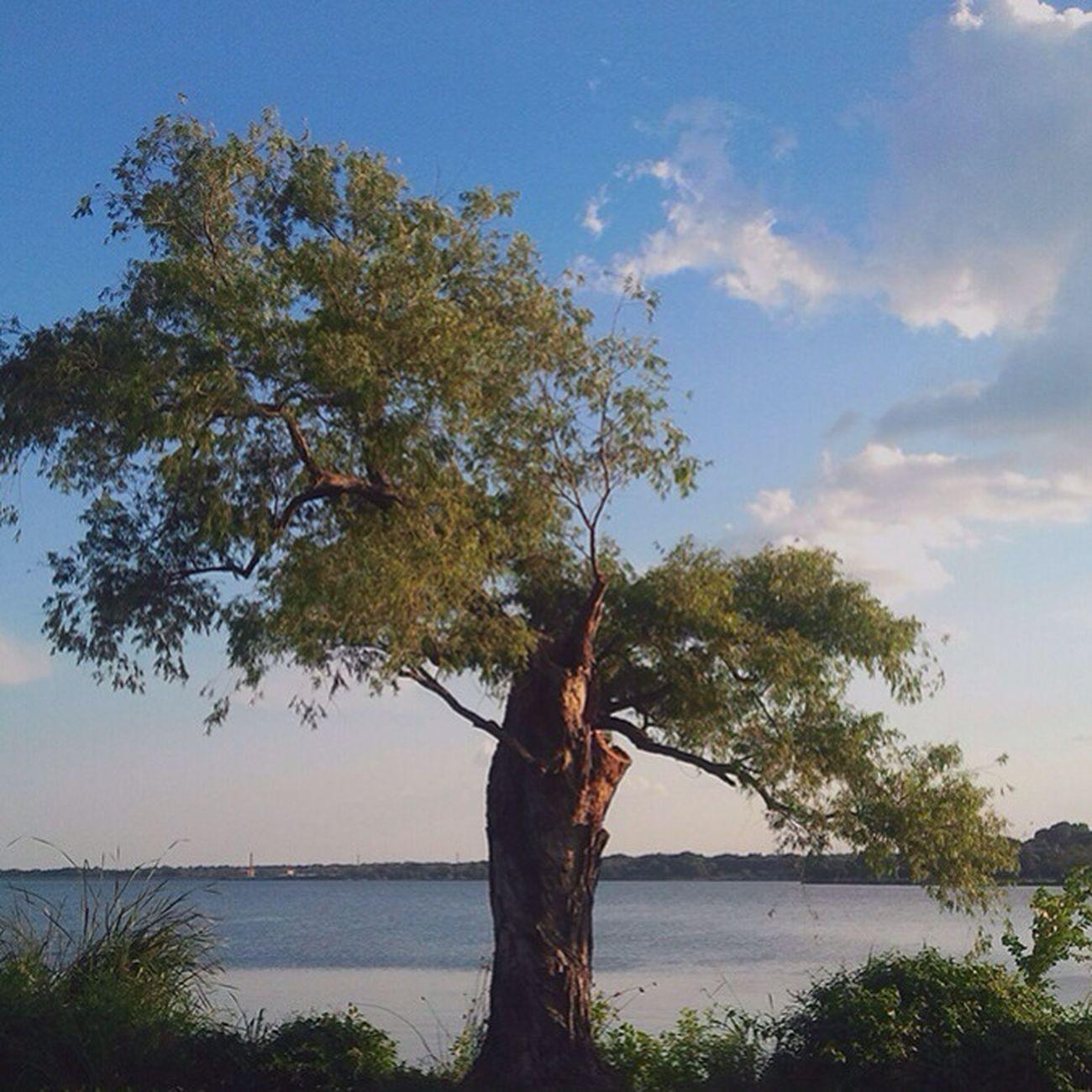 Tree at White Rock Lake. White Rock Lake Dallas Texas Trees
