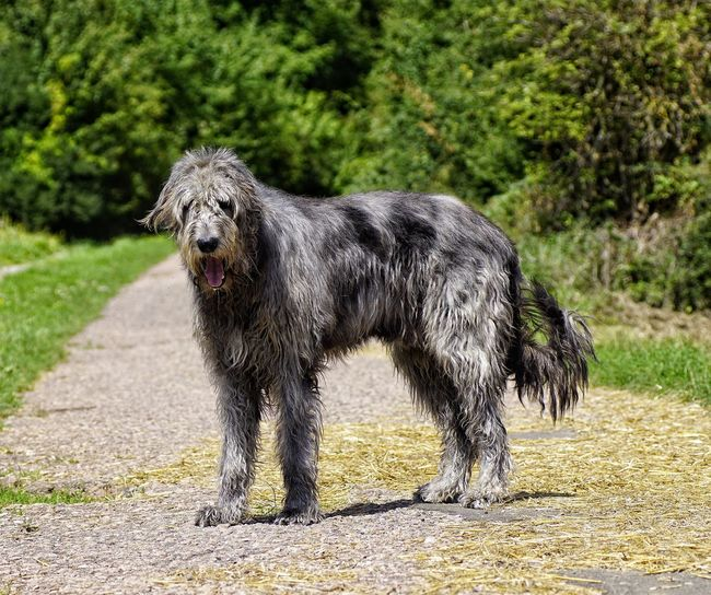 One Animal Mammal Animal Themes Animal Wildlife Nature Domestic Animals Outdoors Sunlight Gentle Giant. Dogs Of EyeEm Purebred Dog Irish Wolfhound Willi The Wolfhound Walking On Sunshine Dogsarefamily Pet Portraits
