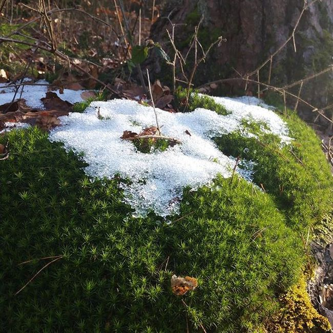 Ok, just 2 more🙈 Outdoors Palatinateforest Pfälzerwald Pfalz Beautifulday Offtrack Nature Forest Hiking Moss Green Artbynature Beautifulnature Rocks Winterisalmostover Stillcold Snow Photospam Instaddict