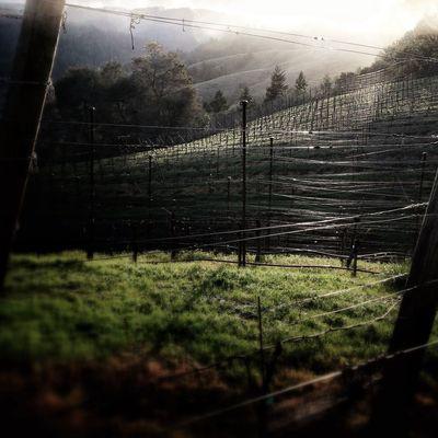 Gossimer vineyard