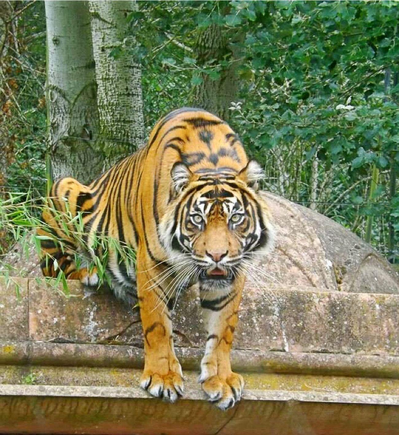 Tigers Big Cats Beautiful Big Cats Nature Tiger Crouching Majestic Eye4photography
