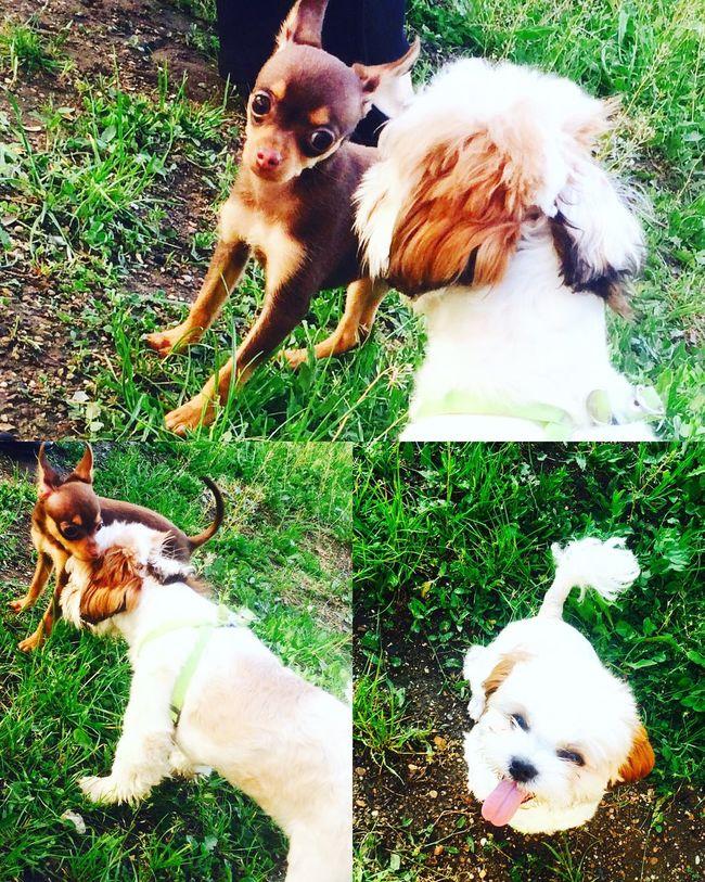 Russiantoy Shitzu Toyterrier Littledog Luxurydog
