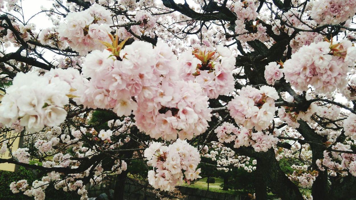 Sakura Japan Beautyful  サクラサク