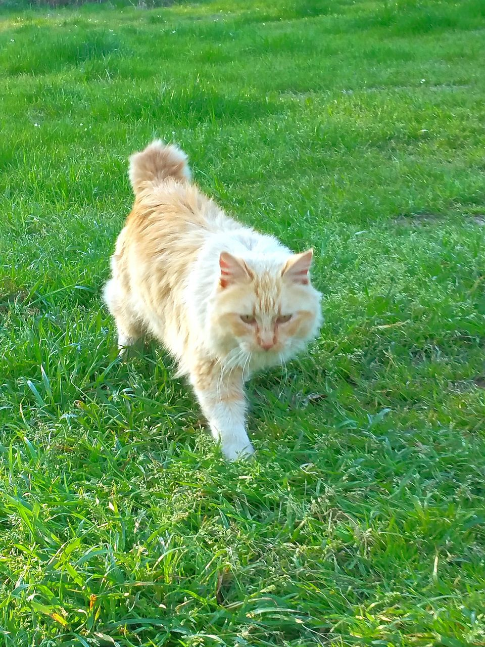 grass, domestic cat, pets, domestic animals, animal themes, one animal, mammal, feline, green color, high angle view, day, outdoors, no people, nature, portrait