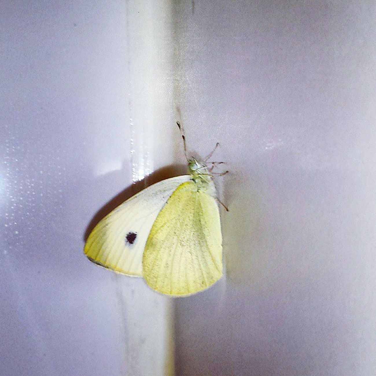 Butterfly Yellowbutterfly Dot Naturelovers Nature Jerseycity Jc Insect_perfection Insect Bug this is a cabbage white butterfly