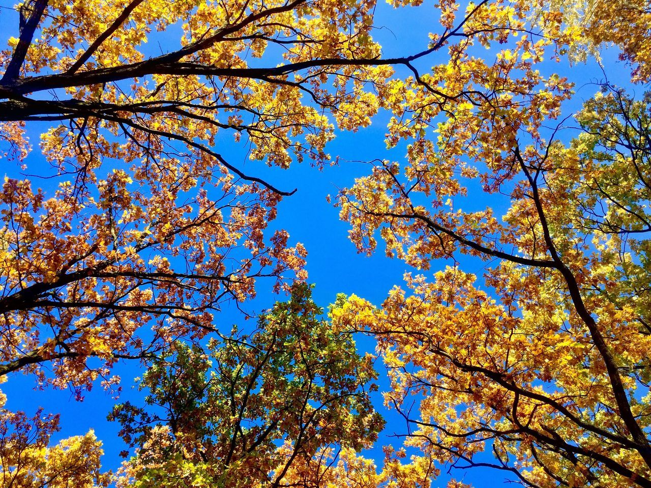 Sunnyday☀️ Sunny Warmautumnday Yellowleafs Low Angle View Backgrounds Autumnbeauty Autumn Collection Polishgoldenautumn Fall Collection Fall Season Fall Colors Fall Beauty Fall Bluesky Clear Sky Look Up The Sky