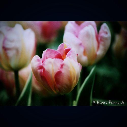 35mm Film Is Not Dead Keukenhof Keukenhof Garden Tulips Garden Flowers Minolta Macro Flower