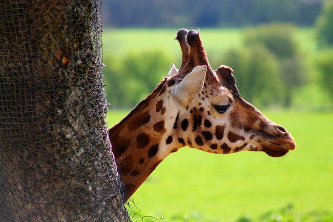 Animal Head  Animal Markings Animal Themes Close-up Endangered Species Focus On Foreground Giraffe Herbivorous Safari Animals Tree Trunk Zoology Giraffe♥ Giraffe ♡ Giraffes Giraffe Head Giraffes! Wildlife Photography Zoo Animals  Zooanimals