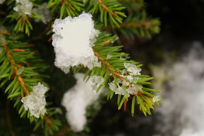 Snow Covered Fir Tree Pine Tree Tree Snow Snow Covered Nature On Your Doorstep Winter Wonderland Winter Garden Pine Needles Close Up Spruce Scots Pine TreePorn Winter Trees EyeEm Nature Lover EyeEm Gallery Surrounded By Snow Backgrounds Background 🍃Green🍃 Natures Diversities Forest Photography Christmas The Culture Of The Holidays Northern Ireland