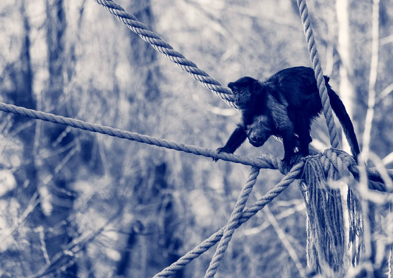 Monkey With Infant On Rope In Forest