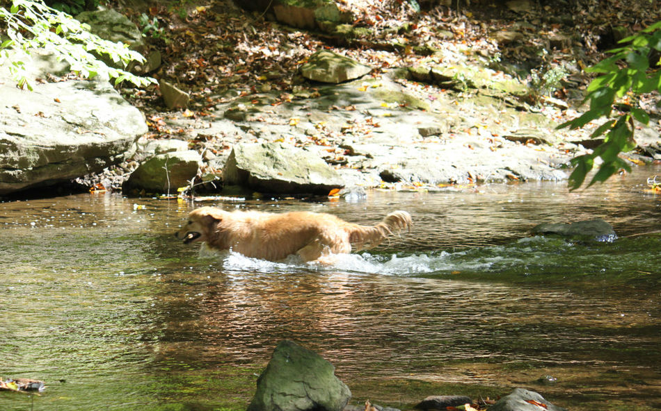 Animal Themes Creek Dog In Water Dog Swimming Nature Outdoors Stream In Woods Golden Retriever Capturing Motion
