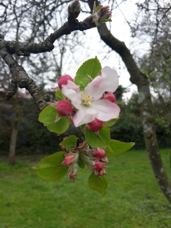 Apple Blossom Blooming Apple Tree Blosssom Blossoms  Landscapes With WhiteWall Urban Spring Fever Petal
