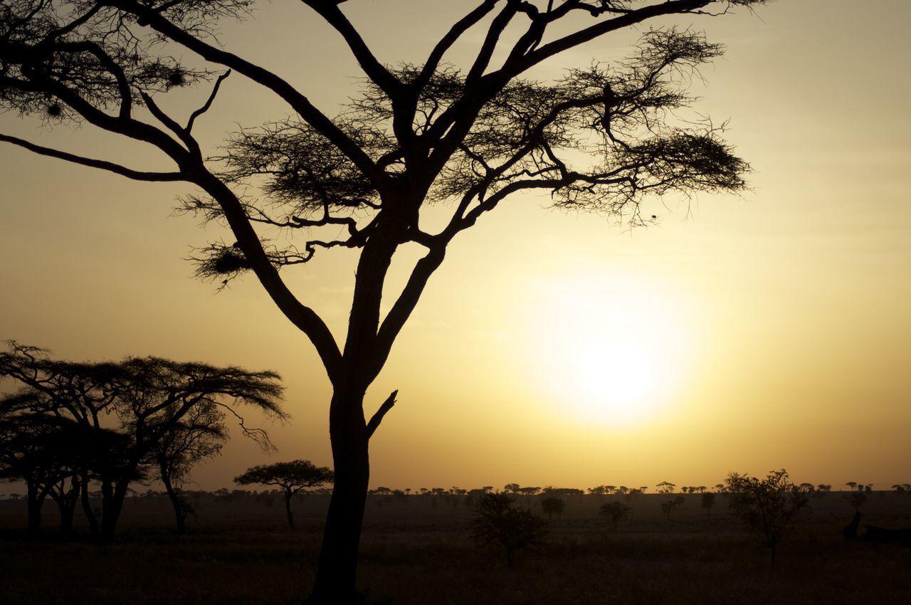 Savana Sunset Beauty Beauty In Nature Dramatic Sky Landscape Nature No People Outdoors Savana Serengeti Serengeti National Park Silhouette Sky Sun Sunset Tree Tree Area First Eyeem Photo