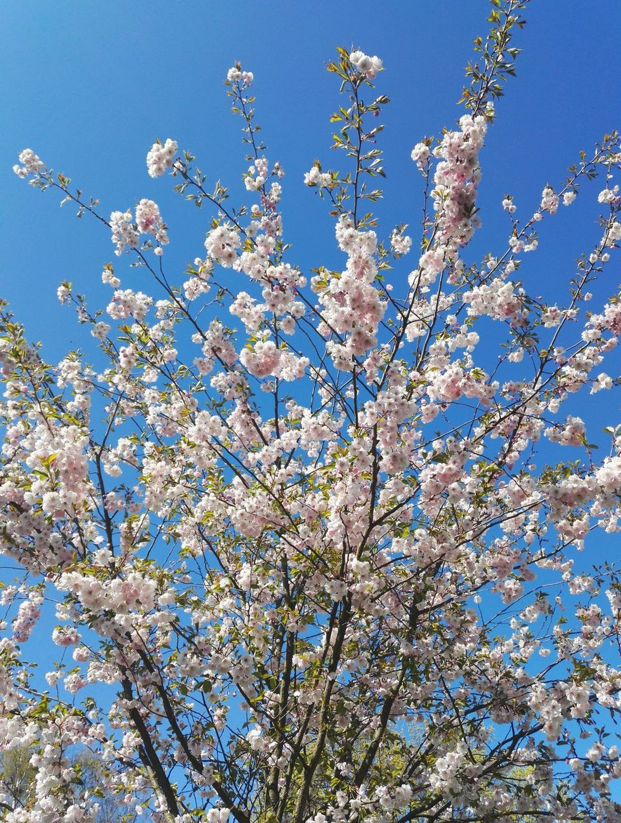 Flower Nature Beauty In Nature Blossom Blue Day Clear Sky Low Angle View Tree Springtime Sky Fragility Freshness Close-up Sakura Park Sakura Blossom Tranquility Sky_collection City Sunlight Happiness Freshness Trees