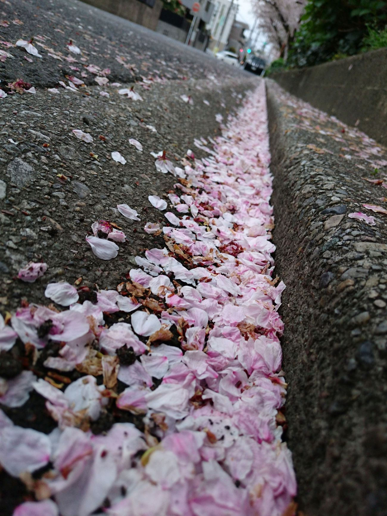 Outdoors Petals🌸 Cherry Blossoms Disperse Scattered Pink Flower 🌸 Pink Pink Color Slanted Edge Gather No People Close-up Street Road Springtime Nature Beauty In Nature Japan Photography My Smartphone Life Mobile Photography Nature_collection Eyem Nature Lovers  Fragility
