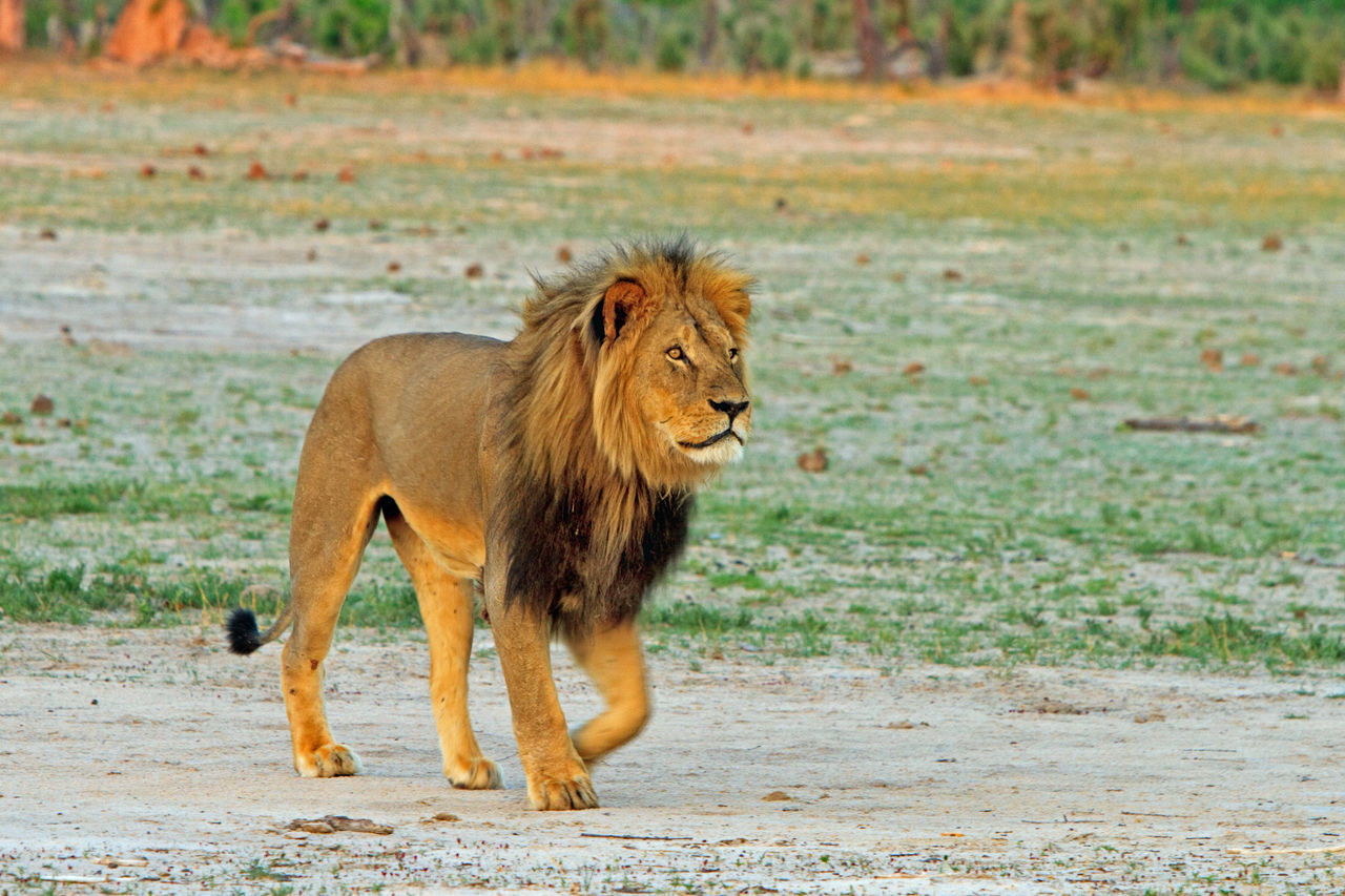 Beautiful stock photos of löwe, Animal Themes, Animal Wildlife, Animals In Captivity, Big Cat