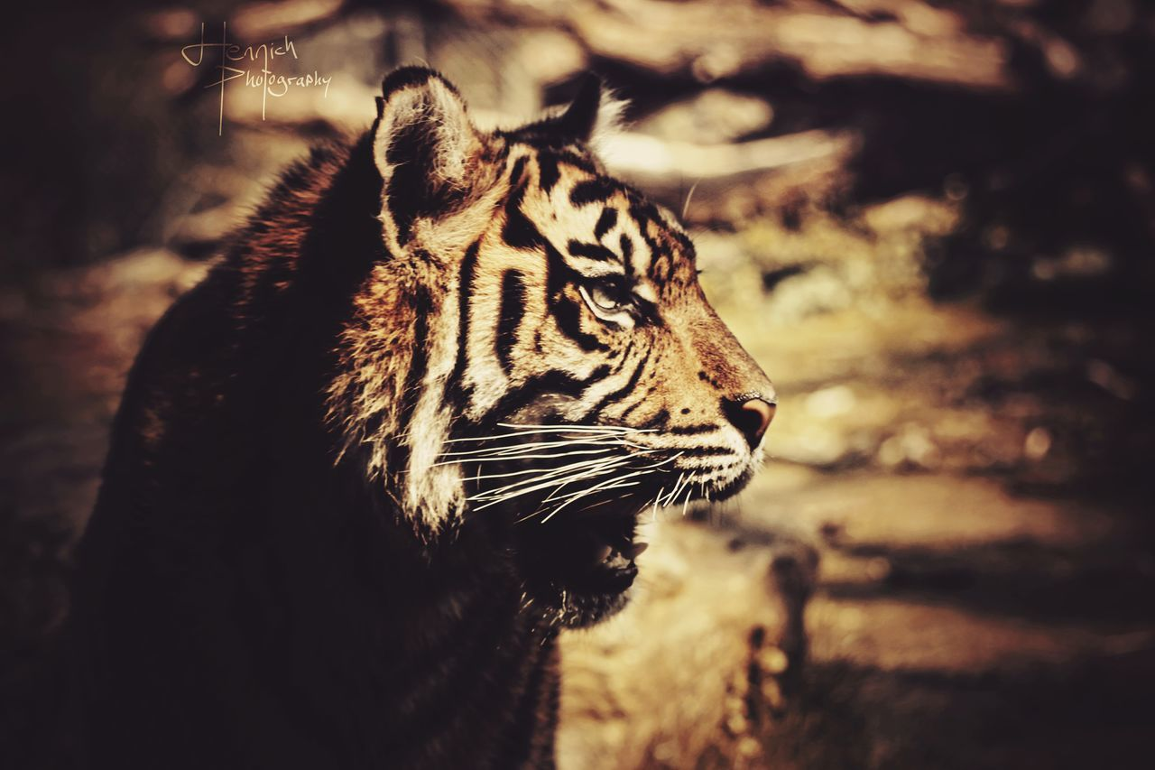 Nice Weather Majestic Tiger Tigereyes Beautiful Animals  Sunshine Quality Times Taking Photos Sunset Enjoying Life Lovely