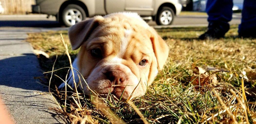 Bulldog #puppy Friends Thisismyworld #thisisidaho Dog One Animal Pets Animal Themes Domestic Animals Mammal Outdoors Day Lying Down Sunlight Close-up Grass No People