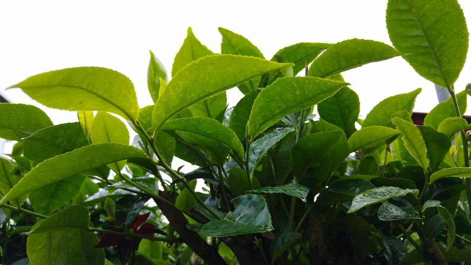 Leaf Nature Growth Green Color Summer No People Plant Tea Crop Close-up Freshness Outdoors Healthy Eating Beauty In Nature Day Tea Tea Plantation  Tea Plant Freshness Green Color Nature Plant Growth Tea Plantation  Ceylon Tea Ceylon